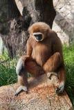 Weiß-übergebener Affe Stockfotografie