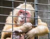 Trauriger Affe gefangen gesetzt hinter dem Zaun Lizenzfreie Stockfotografie