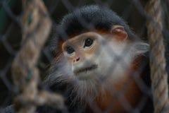 Trauriger Affe hinter dem Käfig stockfoto