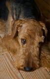 Trauriger Airedaleterrierhund, der auf einen hölzernen Fußboden legt stockfotos