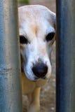 Trauriger alter Hund im Schutz Stockbild