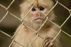 Affe hinter Zaun Lizenzfreie Stockbilder