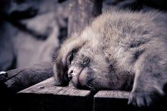 Trauriger Blick eines Affen während seines Haares Stockfotografie