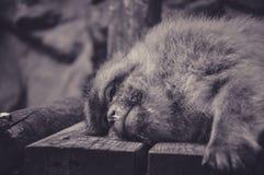 Trauriger Blick eines Affen während seines Haares Lizenzfreie Stockbilder