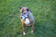 Trauriger Boxer-Hund Stockfoto