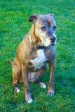 Trauriger Boxer-Hund Lizenzfreies Stockfoto