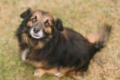 Trauriger brauner Hund, der zur Kamera hilflos schaut lizenzfreie stockfotografie