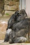 Trauriger denkender Gorilla Stockbild