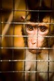 Trauriger flaumiger Affe in einem Käfig sitzt Stockbilder