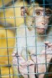 Trauriger flaumiger Affe in einem Käfig sitzt Stockfoto