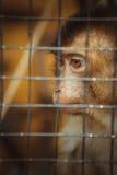 Trauriger flaumiger Affe in einem Käfig sitzt Lizenzfreies Stockfoto