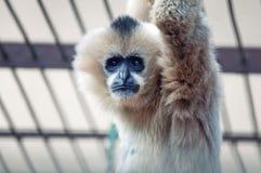 Trauriger Gibbon im Zoo Lizenzfreie Stockfotos