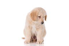 Trauriger golden retriever-Welpe, der unten schaut Lizenzfreie Stockfotos