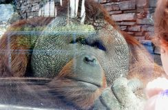 Trauriger Gorilla am Zoo Traurige Augen stockbilder