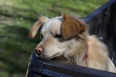Trauriger Hund wartet, um zu erlöschen Stockbild