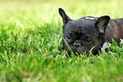 Trauriger Hundefranzösische Bulldogge, die im Sommergras liegt Stockbild