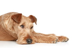 Trauriger irischer Terrier Lizenzfreies Stockbild