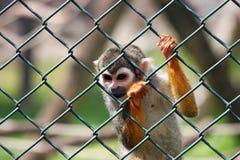 Trauriger kleiner Affe Stockfoto