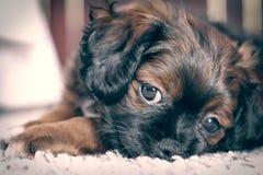 Trauriger kleiner Hund stockfoto