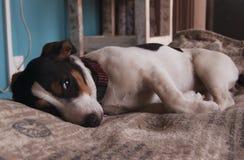 Trauriger kleiner Jack Russell-Hund, der auf einer Decke liegt Stockbild