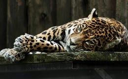 Trauriger Leopard in der Gefangenschaft Stockfoto