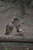 Trauriger lustiger Affe innerhalb des Käfigs Stockbilder