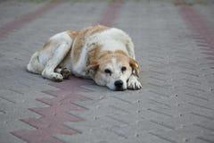 Trauriger obdachloser streunender Hund Stockfotografie