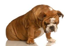 Trauriger oder deprimierter Hund Lizenzfreie Stockfotografie