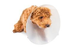 Trauriger Pudelhund, der schützenden Kegelkragen auf ihrem Hals trägt Stockbild