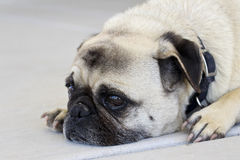 Trauriger Pug stockfotos