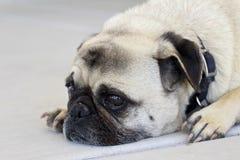 Trauriger Pug Stockfotos