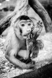 Trauriger südlicher Schwein-angebundener Makaken nahe dem Fenster Lizenzfreie Stockfotografie