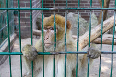 Trauriger schauender Affe in seinem Käfig Stockfotos