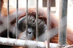 Trauriger schauender Orang-Utan hinter Gittern Stockbild