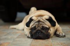 Trauriger schauender Pughund wartet geduldig auf Eigentümer, um nach Hause zu kommen stockfotografie