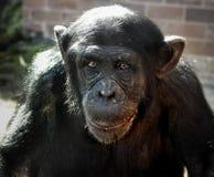 Trauriger Schimpanse Stockfoto