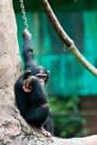 Trauriger Schimpanse Stockfotos