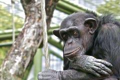 Trauriger Schimpanse Lizenzfreie Stockbilder