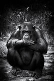 Trauriger Schimpanse Stockbilder