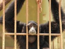 Trauriger Schimpanse in einem Käfig Stockbild