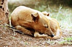 Trauriger Schlafenhund Stockfoto