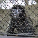 Trauriger schreiender Affe im Käfig Lizenzfreie Stockbilder