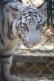 Trauriger Tiger Lizenzfreie Stockfotos