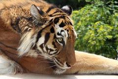 Trauriger Tiger, der auf dem Gras liegt Stockfotografie