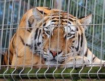 trauriger Tiger schaut heraus durch den Drahtzaun seiner Einschließung Stockfoto