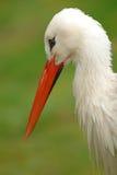 Trauriger weißer Storch Lizenzfreie Stockbilder