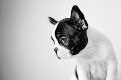 Trauriger Welpe der französischen Bulldogge Lizenzfreie Stockfotografie