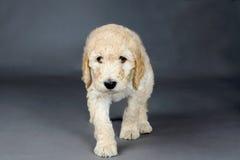 Trauriges Gesicht goldendoodle Stockfoto