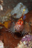 Trauriges hawkfish Stockfotografie
