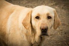 Trauriges Hundetierporträt Stockfoto